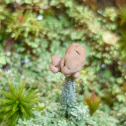 Peg Lichen