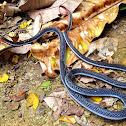 Malaysian Blue Coral Snake