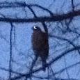 mission hawk northeastern US