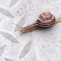 Banded wood snail, garden snail