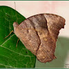 Common Evening Brown Butterfly (Dry-season form)