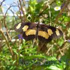 Yellow-banded Acraea