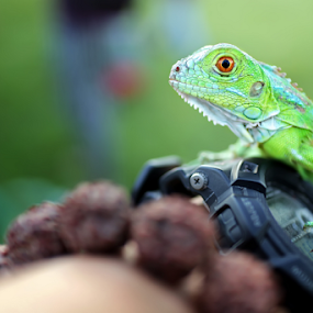 look by Agus Stiawan - Animals Reptiles