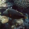 Striped Triggerfish
