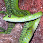 African Tree Snake (Male)