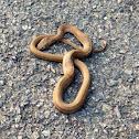 common mock viper(紫沙蛇)