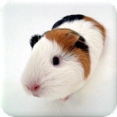 Guinea Pig Manual