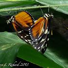 Tiger longwing butterflies (mating)