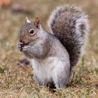 Screenshot of Squirrels Jigsaw Puzzles