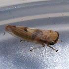 Austroagalloides Leafhopper