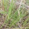 Marsh hay