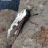 Cossidae Moth