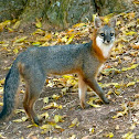 Common gray fox