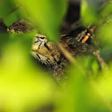 Oriental garden lizard(变色树蜥)