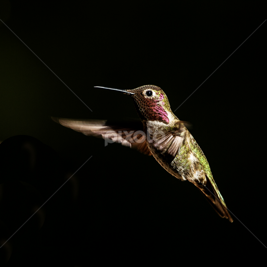 Hang in There by Ken Wade - Animals Birds ( hovering, calypte anna, hummingbird, anna's hummingbird, gorget )