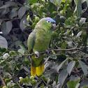 Blue-crownd Mealy Amazone