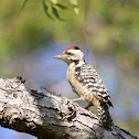 Fulvous - breasted Woodpecker - Male