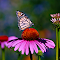 butterfly and conefloer.jpg