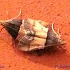 Pyralidae, Pyralinae