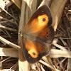 Orange Bush-brown (wet-season form)