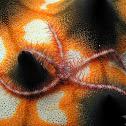 Purple Brittle Star