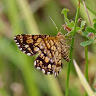 Latticed Heath