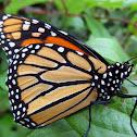 ♀ Monarch