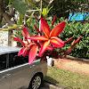 Frangipani hybrid