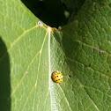 Ladybug, Ladybird, Multicolored Asian Lady Beetle