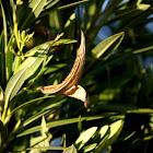 Dry pod of Oleander