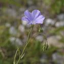 Blue Flax, Ausdauernder Lein