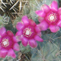 Jumping Cholla Cactus Flowers - Three in a row