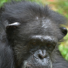 Deep in thought. by Carolyn Parks - Animals Other Mammals ( primate, chimp )