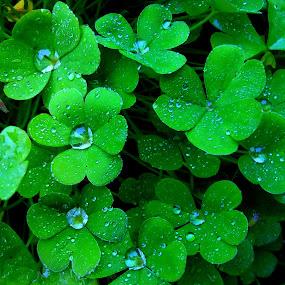 Diamond drops by Gordana Cajner - Nature Up Close Natural Waterdrops ( nature, green, drops,  )