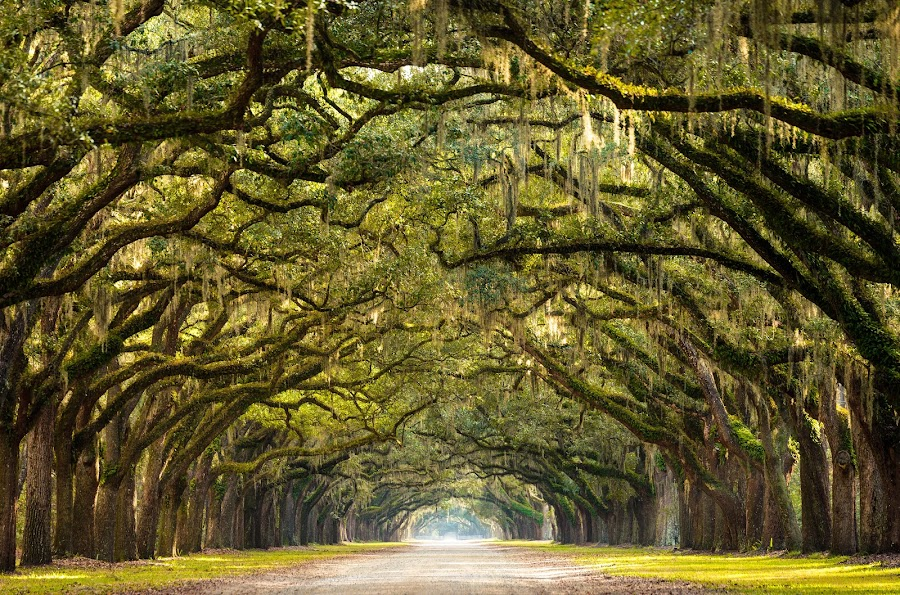 Wormsloe Plantation Live Oaks by Serge Skiba - Landscapes Forests ( america, moss, state, beauty, travel, long, usa, plantation, historic, ga, canopy, southern, tree, nature, oak, shadow, path, walkway, branches, live, covered, wormsloe, site, park, georgia, forsyth, savannah, color, trees, summer )