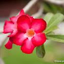 impala lily, desert rose