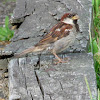 House (or English) Sparrow male
