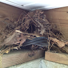 Wren Nest with 5 Eggs