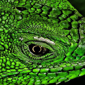 Iguana by Edison Pargass - Digital Art Animals ( green, trinidad, iguana, reptile, closeup, eyes,  )