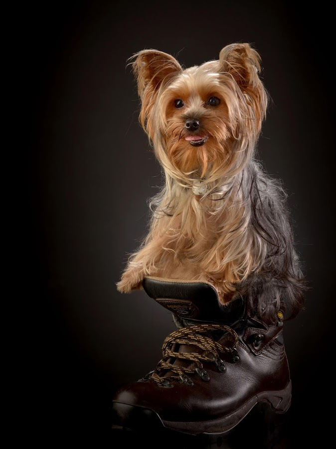 Chibie on shoes by Johann Nicholas - Animals - Dogs Portraits ( shoes, dog, photo, photography )
