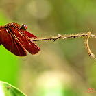 Red-winged Dragonfly