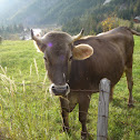 Cow (brown cattle)