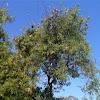 Leucaena leucocephala (Aromo blanco)