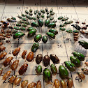 Chaffer Beetle