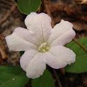 Ciliate Wild Petunia