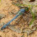 Eastern pondhawk (male)