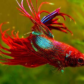 Betta turning by David Winchester - Animals Fish (  )
