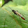 Braconid (Ichneumonid) wasp
