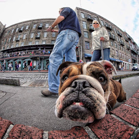 Curiosity... by Roman Mordashev - Animals - Dogs Playing ( breed, natural light, walking, playful, joy, street, cute, natural background, adorable dogs, curious, roman mordashev photography, happy, mamal, animal, pedigree, moving, animalia, funny, fish eye, adult, portrait, canine, bulldog, vertebra, joyful, animal kingdom, river street, pet, zoology, companion dog, dog )