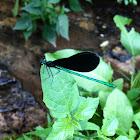 Calopteryx maculata - Ebony Jewelwing